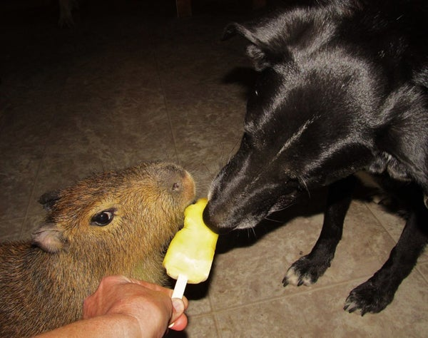 Cheesecake, the Stoic Capybara, Faces Threat From Puppies
