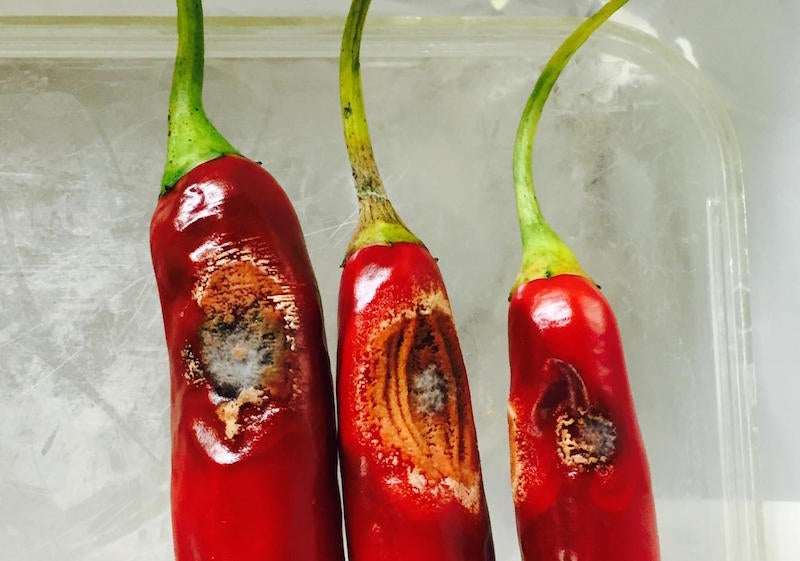 Something Is Killing Off Australia's Chillies