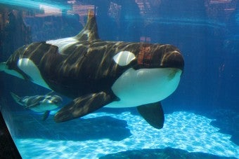 Sea World's Killer Whale Successfully Breeding