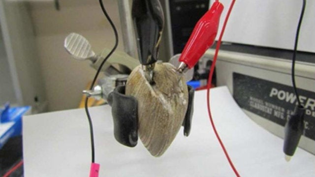 Vampiric Implants Siphon Clam Essence for Electrical Power