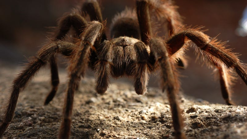 Tarantulas Have Their Own Equivalent of a Dog Show