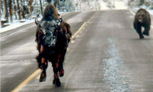 Yes, That's A Bear Chasing A Half-Mauled Bison Down A Yellowstone Road