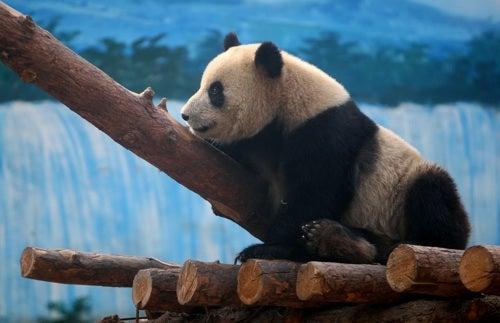 White Water Rafting, Panda Style