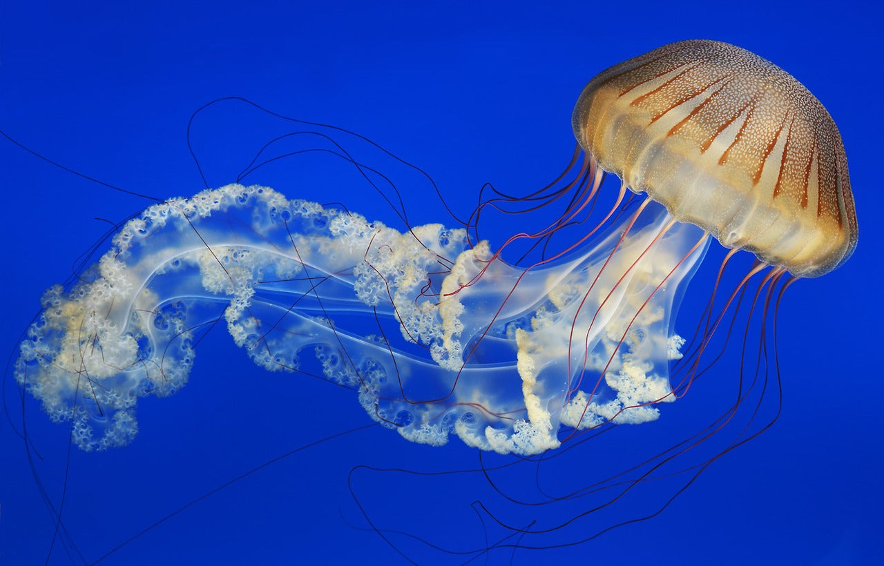 A South American sea nettle floats ethereally in this captivating image by photographer Randy Wilder