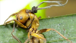 Zombie Ants Discovered In Rain Forest