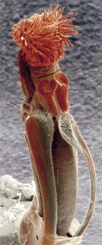 Why did the seed beetle's penis evolve to look like this?