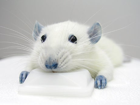 This Blue Rat May Have the Secret to Avoid Spinal Cord Injuries