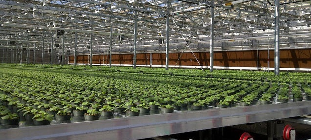 Your Future Flu Vaccines Could Be Grown Inside a Tobacco Plant