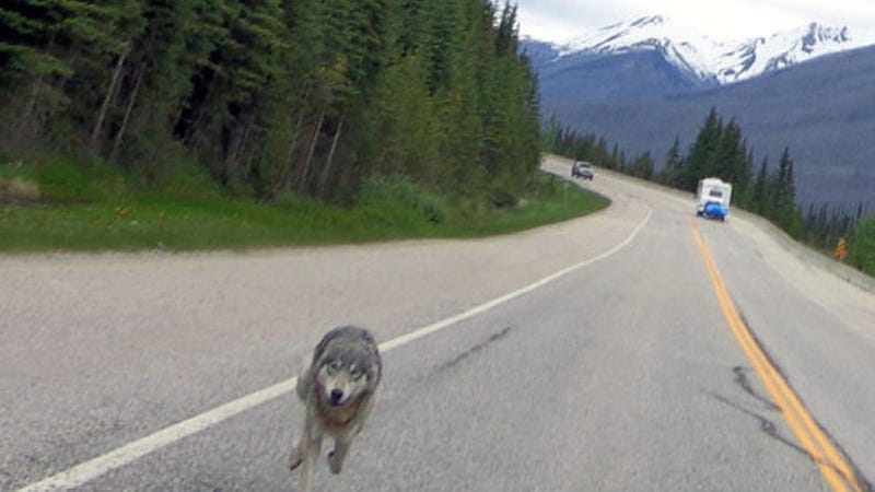 """Canadian Motorcyclist Chased for Nearly a Mile by """"Massive"""" Wolf"""