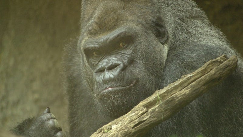 Gorilla Named Patrick Sent to Gorilla Therapy for Being a Sexist Jerk