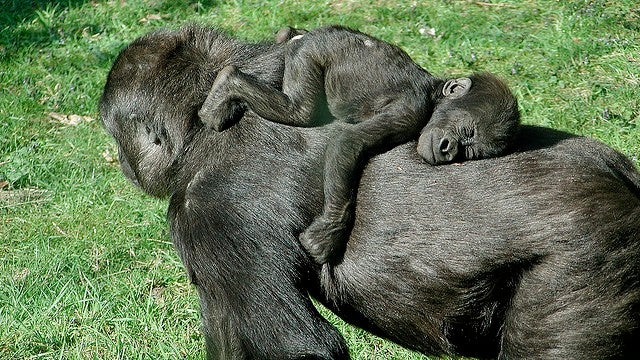 Gorillas communicate with their infants using their own version of baby talk