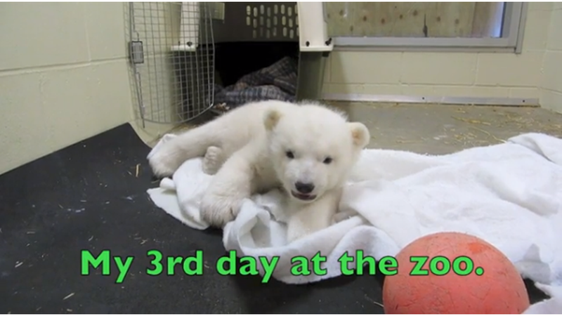 Baby Polar Bear Melts Our Hearts Like Climate Change Melts So Many Glaciers