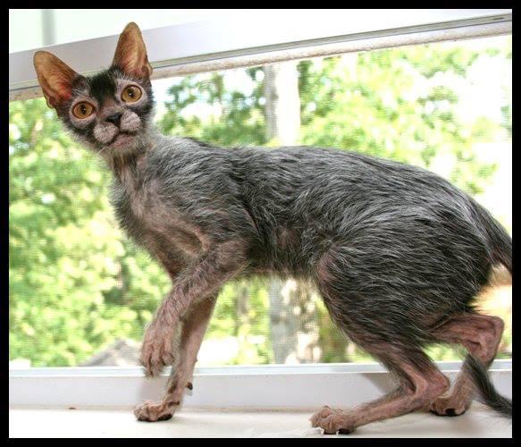 Werewolf Kitties, No Full Moon Needed
