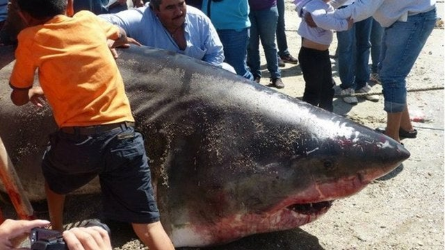 20-foot-long shark discovered, almost as big as Jaws
