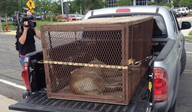 Utah Mountain Lion Hangs Out At Shopping Mall, Is Tranquilized and Dies