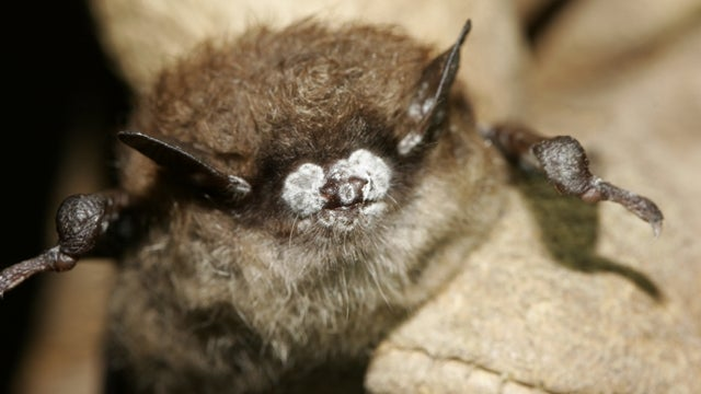 Fungal infection could wipe out some species of bats completely