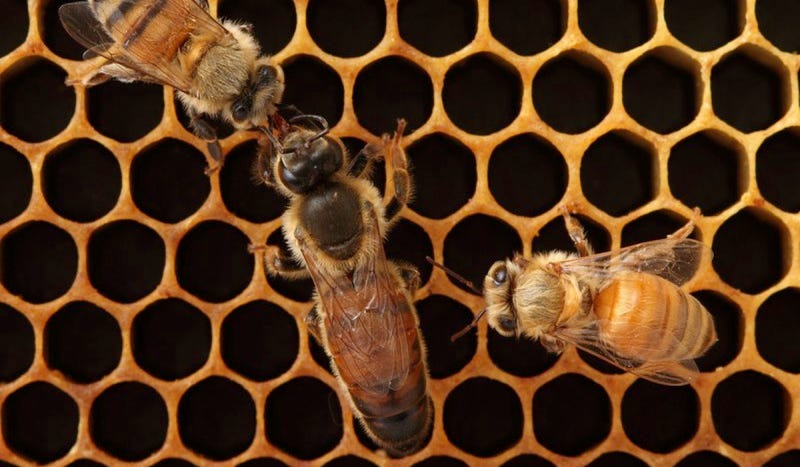 Bee colonies with promiscuous queens have a better chance of survival