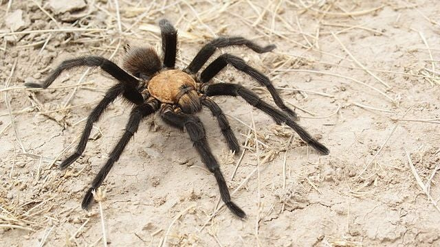 Horror of the Day: Tarantulas Migrate En Masse