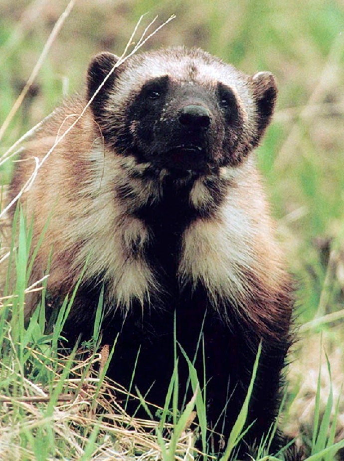 There Are Only 300 Wolverines Left in America