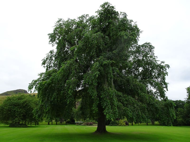 Extinct Trees Found in the Queen's Royal Garden Aren't So Extinct