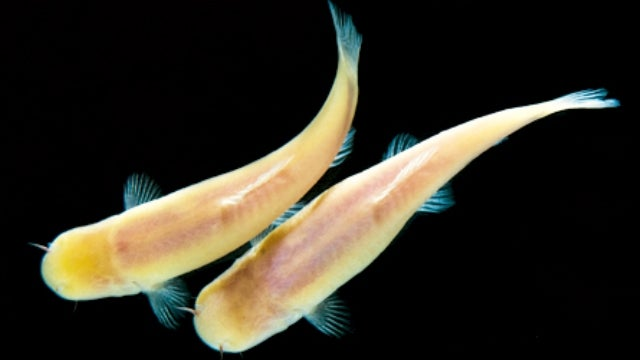 Somalian cave fish live on a 47-hour day