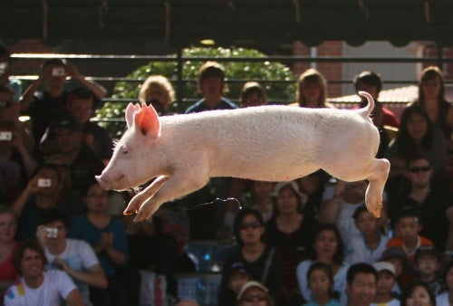 Breaking: Pigs Do, Indeed, Fly