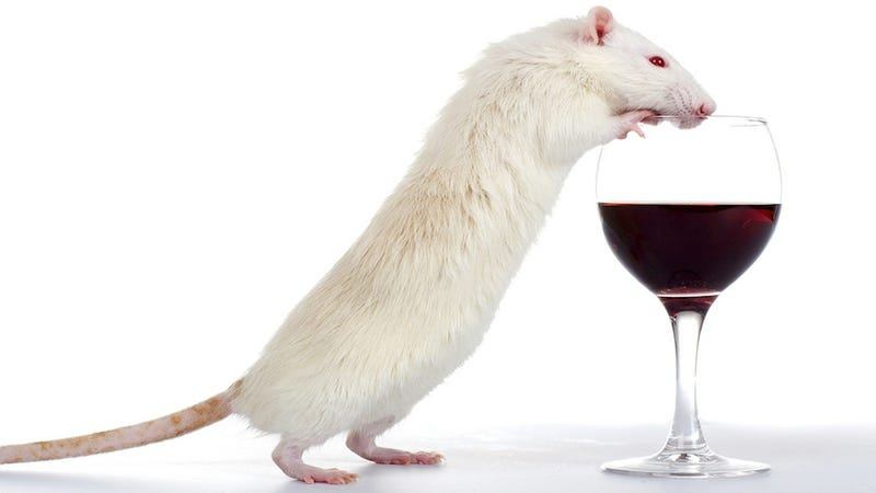 Scientists Get Mice Drunk To Explain Why Binge Drinking Breaks Bones