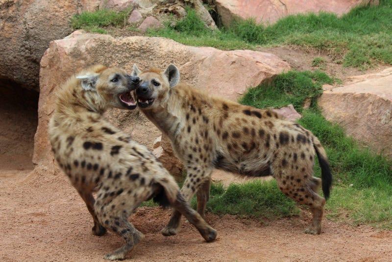 Wednesday Hyena - Crocuta crocuta Edition