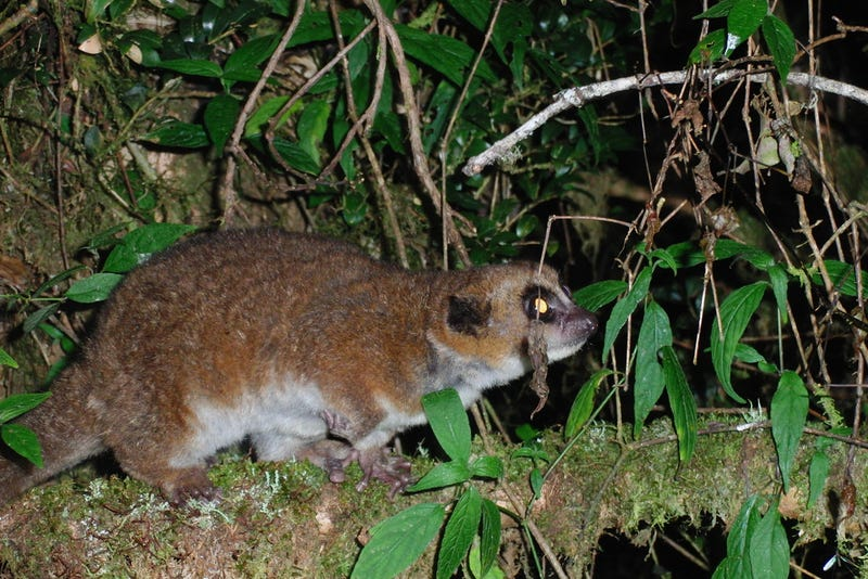 Are these dwarf lemurs the key to long-distance space travel?
