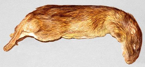 CIA Animal Tech: Bats, Cats and Rats As Covert Operatives