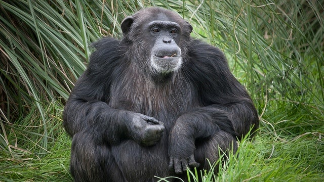 Genetic diversity among chimpanzees reveals just how closely related humans really are