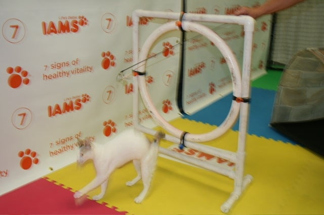 Cats Being CAThletes: An Afternoon at the CFA Iams Cat Championship