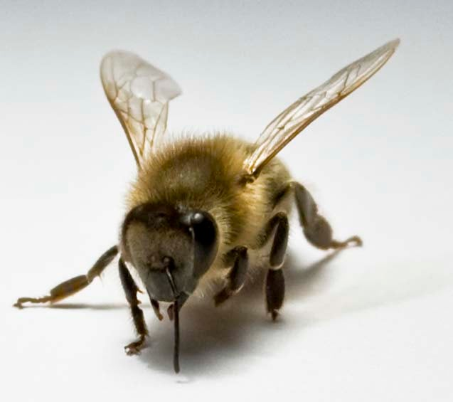 Honeybee friendships may shed light on human social life