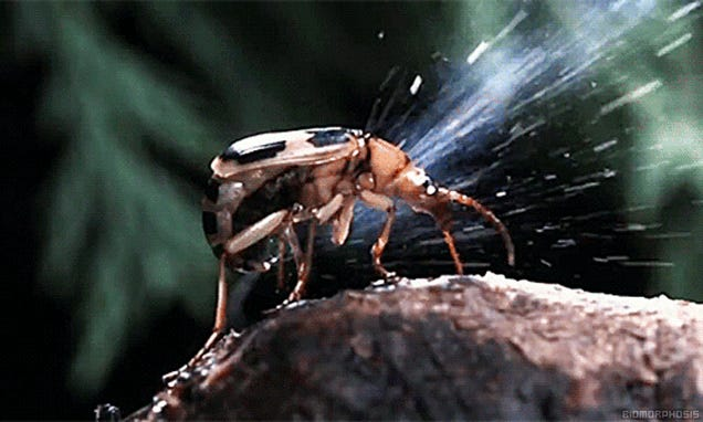 When the bombardier beetle attacks it really bombs its enemies
