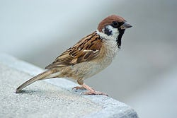 China's Worst Self-Inflicted Environmental Disaster: The Campaign to Wipe Out the Common Sparrow