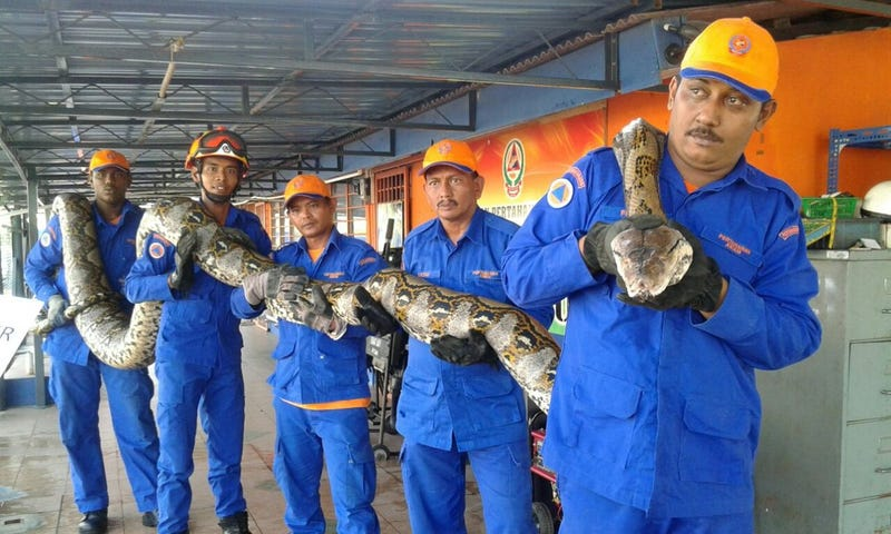 Record-Breaking 26-Foot Python Captured, Promptly Dies