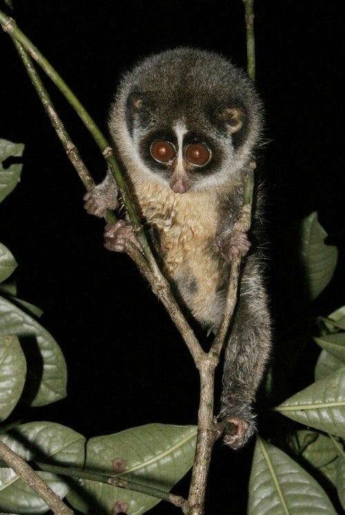 Adorable Primate Photographed for First Time Ever