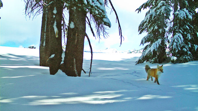 Rare Fox Spotted In YosemiteFor The First Time In Nearly 100 Years