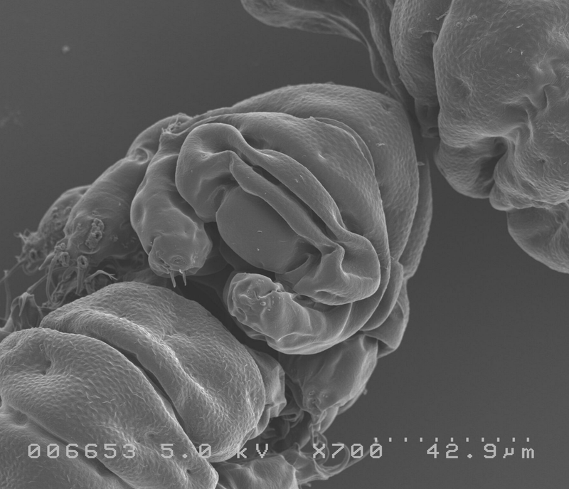 Genes Hold the Key to the Water Bear's Indestructibility
