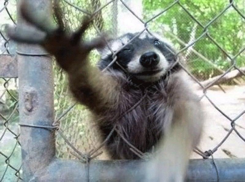 It's An Outstanding Year To Be A Homicidal Raccoon Fan