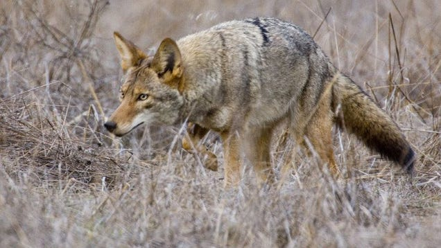 How To Keep An Outdoor Cat Safe From Coyotes