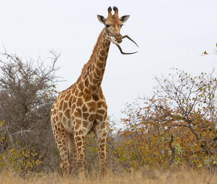 And Now, A Giraffe Eating An Impala Skull