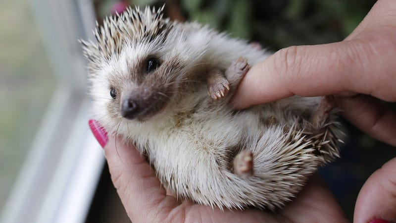 It's Official: Everybody Wants a Hedgehog