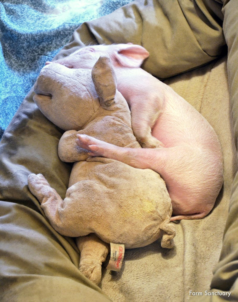 Let's Adopt All of These Rescued Farm Animals Immediately