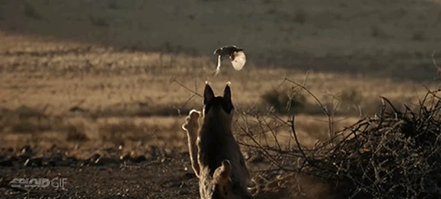 How a desert cat uses its super ears to hunt birds in mid-flight