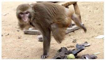 One-Armed, One-Legged Monkey Is Devoted To Man Who Saved Its Life