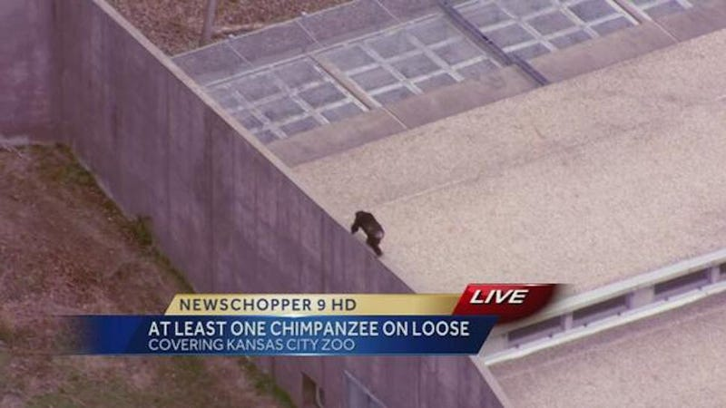 Chimpanzees Are On the Loose at the Kansas City Zoo