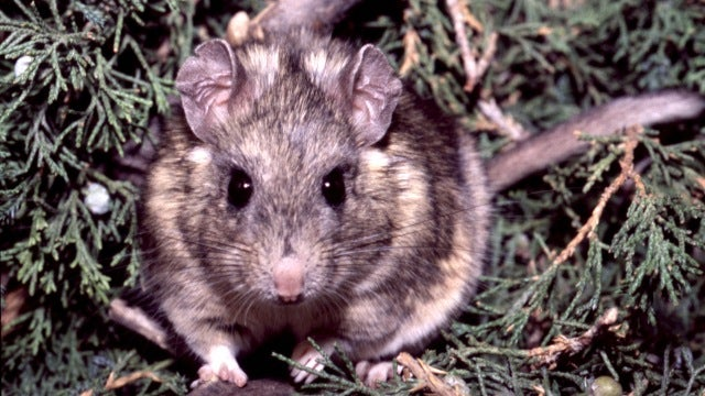 Rats are awesome masters of all things poisonous