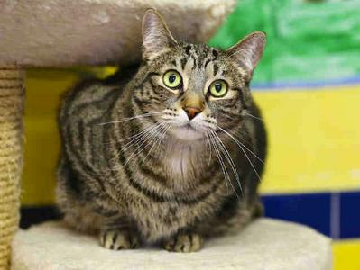 "Please Adopt This Cat Named ""Eli Manning"""