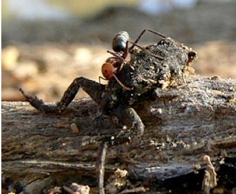 Australian Meat Ants Devour Toads In 2 Minutes Flat